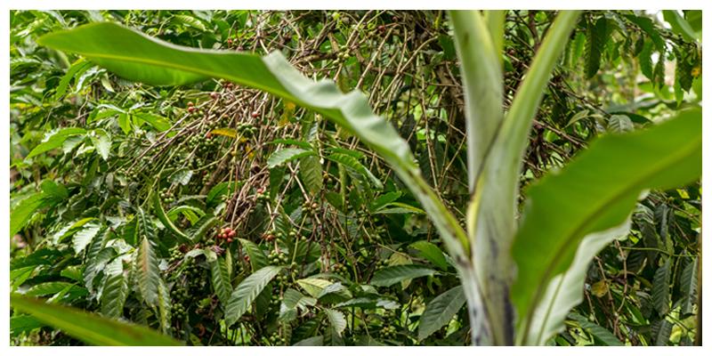 Slow Food Movement: Coffee Intercropping in Uganda
