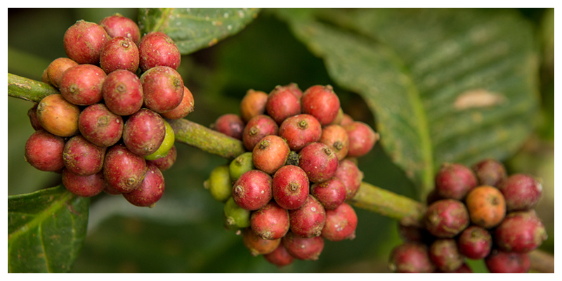 Slow Food Movement: Coffee and Climate Change in Uganda